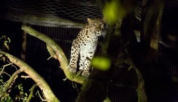 Amurinleopardi kuva Kerttu Penttilä 8066027590_dc93e7fde8_h